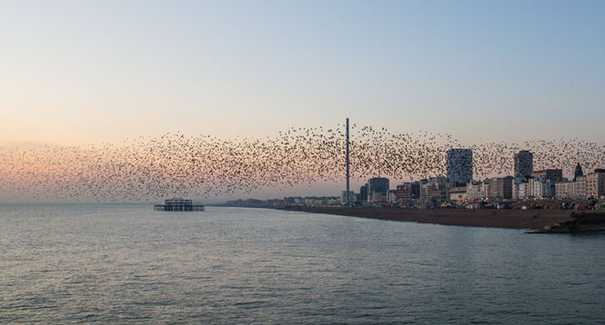 Photo of the starling murmuration over British Airways i360 Brighton. Photo credit - OnTheNorway blog